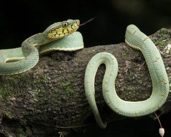 Cobras venenosas ou peçonhentas? Conheça mais sobre as serpentes do Brasil