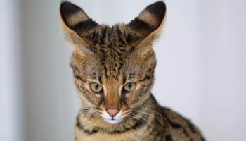 12 exemplos de animais híbridos reais que parecem imaginários!