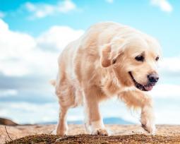 Golden Retriever: curiosidades e cuidados que você precisa saber antes de ter um