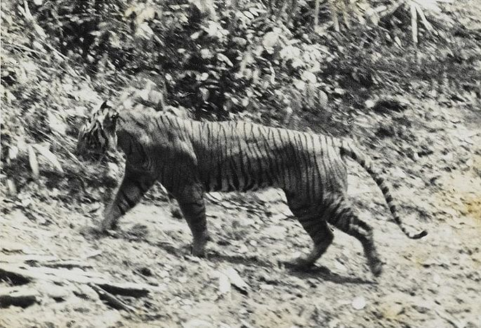 tigre de java