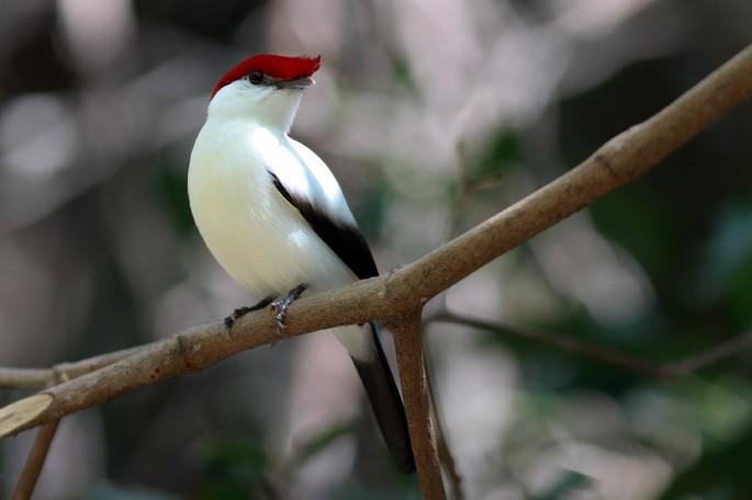 Antilophia bokermanni