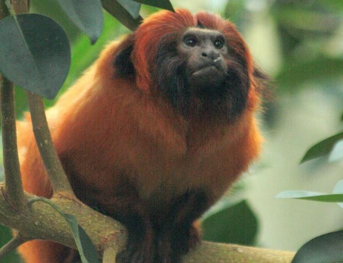 Leontopithecus caissara mico leão de cara preta