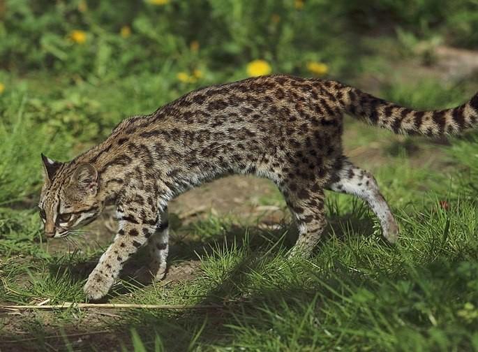 Leopardus trigrinus