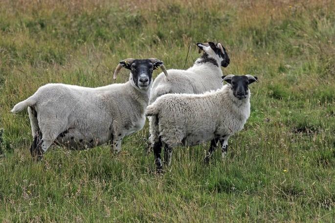 ovelha Scottish Blackface