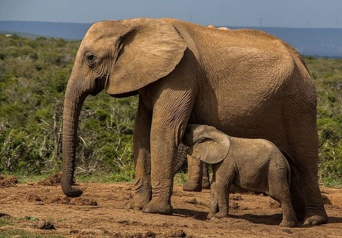 elefante filhote