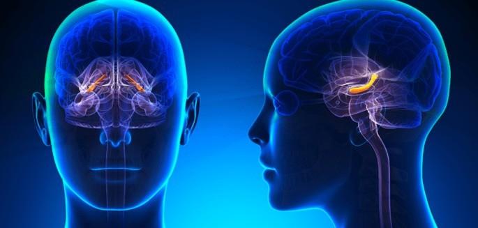 Hipocampo cérebro humano
