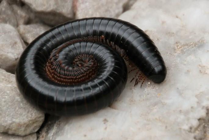 piolho de cobra