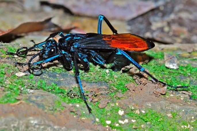 vespa montezuma