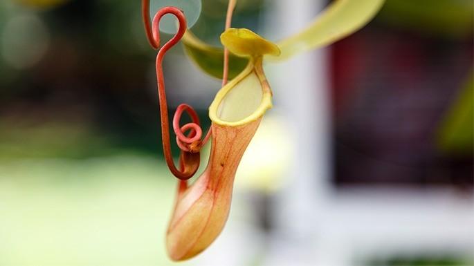 hipercultura-plantas-carnivoras-Nepenthes