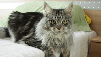 Maine coon e outras raças de gatos gigantes: curiosidades sobre esses enormes pets