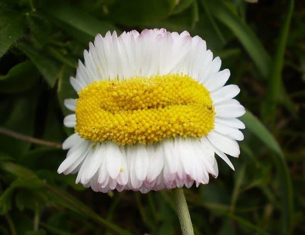 Flor mutante