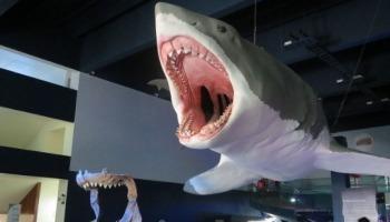 Megalodon: tudo o que você precisa saber sobre o maior tubarão do mundo!