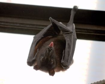 Morcegos: Veja mitos e fatos sobre esses mamíferos voadores