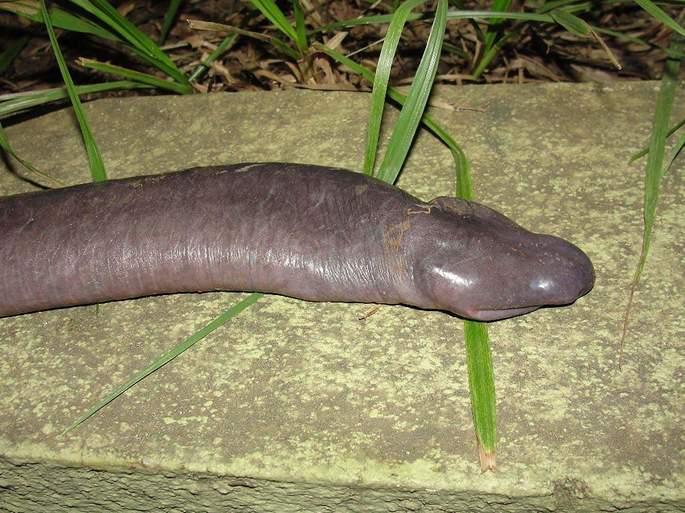 Cobra mole