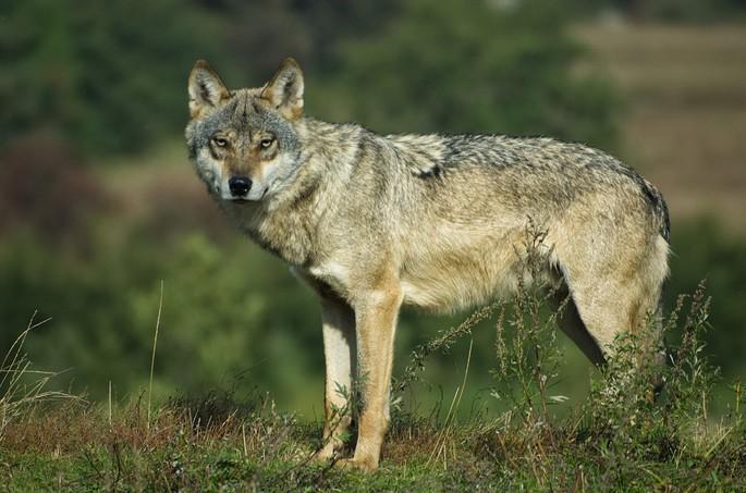 Lobo europeu