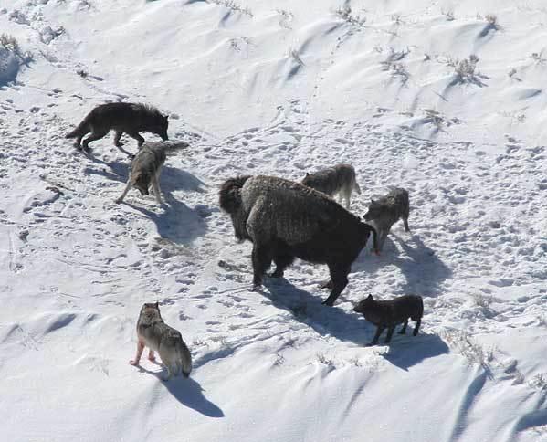 lobo bisão