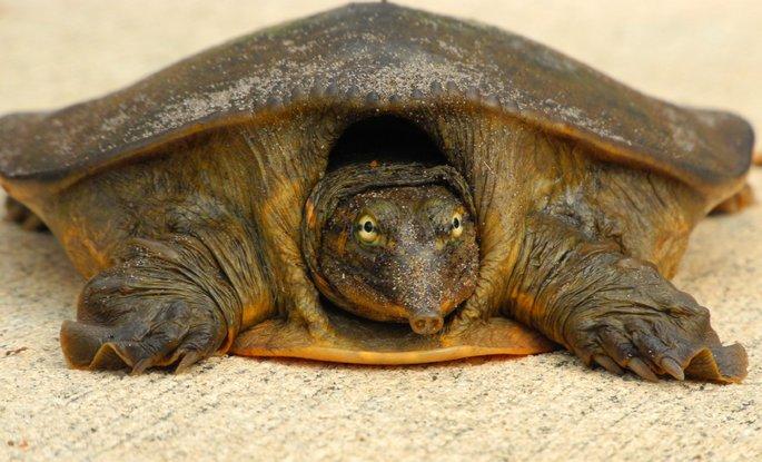 tartaruga casco mole