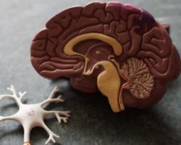 O lado direito e esquerdo do cérebro determinam o tipo da sua inteligência?