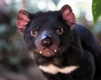 11 características impressionantes do diabo da tasmânia