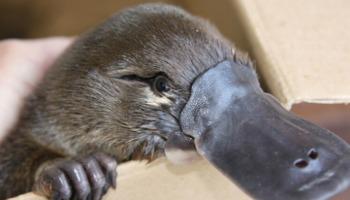 Ornitorrincos: características e curiosidades desse animal excêntrico e fantástico!