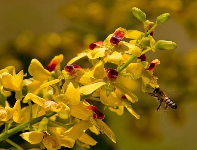 Flores do pau-brasil
