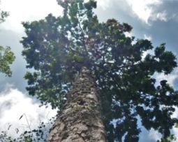 Pau-brasil: a história da árvore que marca o nosso passado