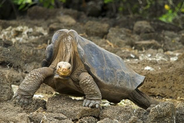 tartaruga das galapagos