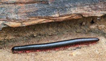 Piolho de cobra: tire todas as suas dúvidas sobre esse estranho animal