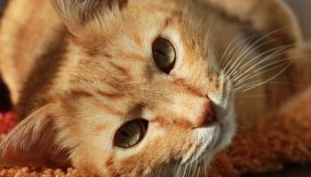 O poder de cura do ronrono dos gatos e como esse barulho afeta os humanos