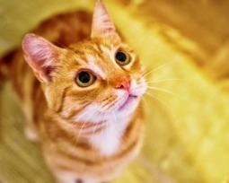 Porque os gatos ronronam e como esse barulho pode afetar os humanos