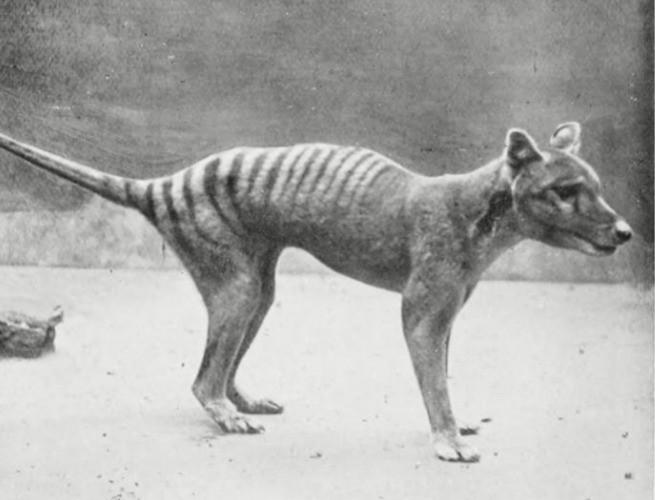 Lobo da tasmânia (também conhecido como tigre da tasmânia)