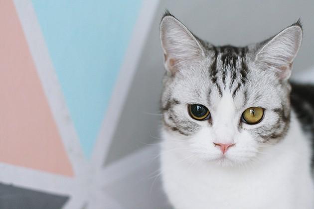 Anisocoria em gatos