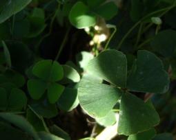 Por que se acredita que o trevo de quatro folhas traz sorte?