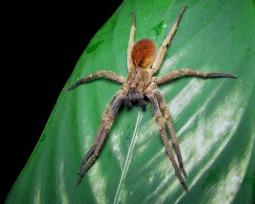 7 curiosidades sobre a perigosa Aranha Armadeira (Aranha de Bananeira)