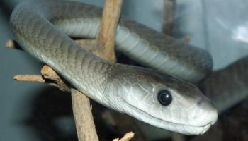 Tudo sobre a mamba-negra, a cobra mais temida da África