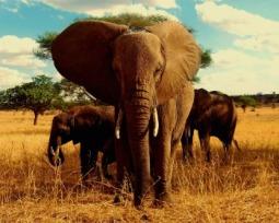 Tudo sobre os elefantes: onde vivem, o que comem, características e curiosidades