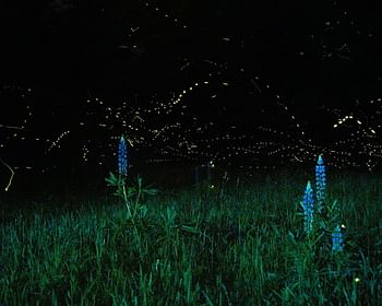 Vaga-lume: a origem do seu brilho e outras curiosidades desse inseto incrível