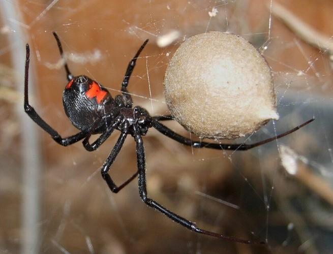 Viúva-negra saco de ovos