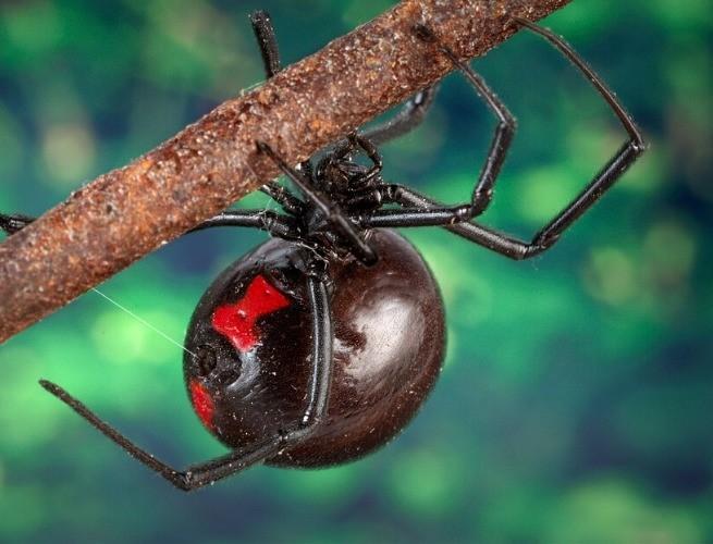 Viúva-negra fêmea